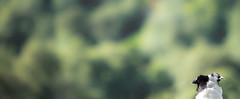 Horizons unfolding (JJFET) Tags: border collie dog dogs sheepdog herding