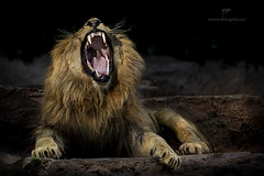 The King (Gabriel Castro Vidal) Tags: wild dawn mist dark hayfield one composure band lion nature animal zoo barcelona spain catalunia leon salvaje