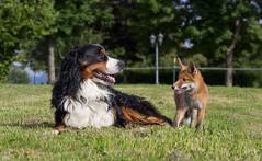 Zwei dicke Freunde (roland_lehnhardt) Tags: canon eos60d ef50mmf18ii tiere tierportrait hunde hundeportrait dogtrait fox fuchs animals
