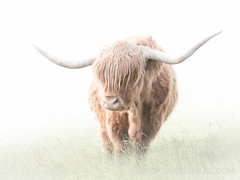 Highland Cattle - Pastel (Old-Man-George) Tags: highland cattle 2018 animal georgewheelhouse bovine cow spring wwwgeorgewheelhousecom a182042