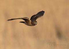 Northern Harrier (T L Sepkovic) Tags: northernharrier harrier raptor birdsofprey canon 5dmkiv teamcanon promediagear lenscoat birdsinflight grasslands