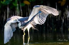 tri colored heron II (dbking2162) Tags: florida fortmyersbeach wildlife water wings pose nature nationalgeographic egrets heron tricoloredheron wading eyes animal explore funny