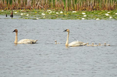 Trumpeter Swan Family (U.S. Fish and Wildlife Service - Midwest Region) Tags: trumpeterswan swan baby young family mom dad mother father bird birding waterfowl nature animal wildlife minnesota mn spring summer june 2018