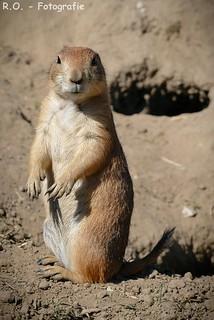 Präriehund / Prairie Dog