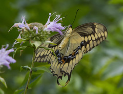 Giant Swallowtail (Papilio cresphontes) (AllHarts) Tags: giantswallowtailpapiliocresphontes spac bergamot hollyspringsms butterflygallery thesunshinegroup naturesspirit