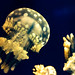 Spotted Jelly (Mastigias papua) of Enoshima Aquarium, Fujisawa : タコクラゲ(藤沢市・新江ノ島水族館)