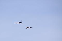 Flamencos (Hachimaki123) Tags: animal ave bird flamenco puntadelfangar deltadelebre