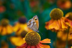 Hedge Brown butterfly (tonybill) Tags: flowers gardens miscellaneous rhs rhswisley sonya7riii surrey voigtlanderapolanthar65mmf2 wisley bokeh