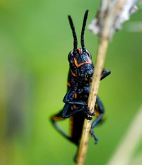 Grasshopper #macro (pooohox) Tags: macro grasshopper bug nikon tamron90mm nikond810