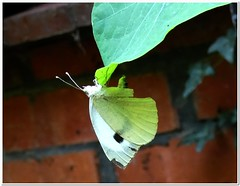 The busy morning of Mrs. Butterfly # 2 (MaxUndFriedel) Tags: garden mrsbutterfly morning leaf eggs