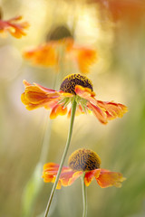 Helenium (Mandy Disher) Tags: helenium sneezeweed summer flower garden orange yellow green