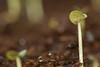Basil sprout (serge.katzmann) Tags: sprout basil bokeh macro green