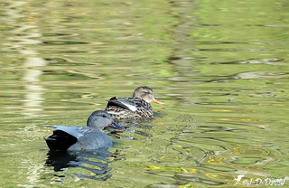 Couple de canards Chipeau