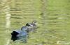 Couple de canards Chipeau (jean-daniel david) Tags: oiseau oiseaudeau canard canardchipeau eau réservenaturelle lac lacdeneuchâtel yverdonlesbains reflet couple duo