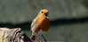 Chirpy Robin (Steve (Hooky) Waddingham) Tags: stevenwaddinghamphotography animal bird british song spring countryside nature garden photography wild wildlife