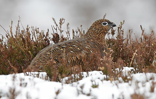 RED GROUSE ..Female..Scotland...Press L for large.
