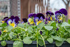 Pansies (A Great Capture) Tags: toronto photography street pansies flowers agreatcapture agc wwwagreatcapturecom adjm ash2276 ashleylduffus ald mobilejay jamesmitchell on ontario canada canadian photographer northamerica torontoexplore spring springtime printemps 2018 eos digital dslr lens canon 70d natur nature naturaleza natura naturephotography naturethroughthelens