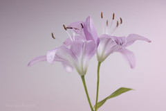 Togetherness ;o) (Elisafox22) Tags: elisafox22 sony ilca77m2 100mmf28 macro macrolens telemacro lens lifeisarainbow pink lily lilies two texture textures light flowers silkybokeh indoors elisaliddell©2018