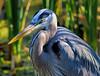 Marsh Shadows (dianne_stankiewicz) Tags: bird heron greatblueheron shade marsh shadows coastal nature wildlife feathers