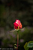 Solitary (lorinleecary) Tags: cambria centralcoastcalifornia flowers
