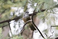 Olive Whistler (Baractus) Tags: mountain valley tasmania australia john oates olive whistler inala nature tours