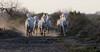 juments camarguaises #5 (S amo) Tags: camargue france troupeau herd mare jument camarguais horse cheval marais swamp
