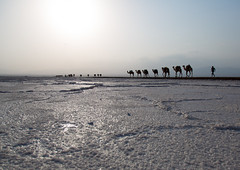 Camels caravan carrying salt blocks in the danakil depression, Afar region, Dallol, Ethiopia (berengere.cavalier) Tags: 3people abyssinia afar afardepression africa african animal beauty burn camel caravan carrying cattle color copyspace dallol danakil danakildepression day desert dry eastafrica ethio16188 ethiopia formations geothermal heat hell herd horizontal hornofafrica hot hotsprings lake landscape livestock load mammal mine minerals mirror natural nature outdoor outdoors reflection saline salt saltlake saltmine saltmining saltwork sky solitude sunset threepeople travel traveldestination volcanic wildlife afarregion