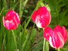 Tulips (cloversun19) Tags: garden flower macro tulip tulips bright flowers grass spring summer love story green pink warm romantic beauty glory happy positive blooming blossoming blossom bloom flowering june picture flowerimages image 3tulips flowerbed ground