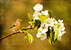 The Chaffinch (maureen bracewell) Tags: hereford flowers spring chaffinch nature tree cannon maureenbracewell texture digitalart painterly