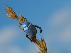 Hoplia coerulea (Iyp-tala) Tags: hoplia coerulea hoplie bleu coleoptere patrick