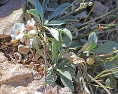 CAE010828a (jerryoldenettel) Tags: 180329 2018 brassicaceae brassicales nm oliverleestatepark oteroco physaria physariapurpurea purplebladderpod rosids wildflower bladderod flower
