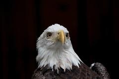Bald Eagle (Mark Schocken) Tags: haliaeetusleucocephalus americanbaldeagle eagle baldeagle markschocken bird raptor