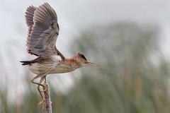 Petit blongios (7) (boisvertvert1) Tags: petitblongios leastbittern michelboisvert 2018 oiseauxduquébec birds canon canada québec canon70d
