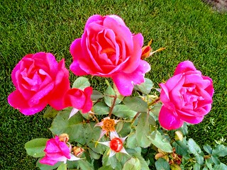 Red Red Roses for a Blue Lady ....