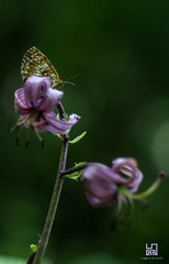 SIMBIOSI (Lace1952) Tags: estate bosco ciglio giglio gigliomartagone liliummartagon farfalla simbiosi sfocato bokeh fuotifuoco