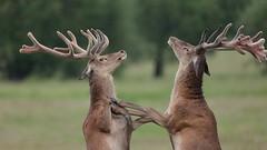 Let's box! (Hammerchewer) Tags: reddeer deer stags wildlife outdoor animal velvetantlers