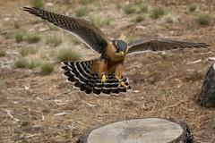 Aplomado (Jon David Nelson) Tags: highdesert aplomadofalcon falcofemoralis birdsofprey raptors education conservation wildlife centraloregon bendoregon