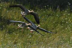 Oie cendrée (Yves.Henchoz) Tags: nikond5 tamron150600g2 tamron150600g2avectcx1414x sauvage nature suisse vole oiseaux oiseauxsauvages