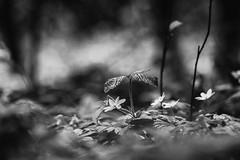 Welcome To The Jungle (sdupimages) Tags: noirblanc blackwhite spring printemps feuilles leaf leaves sousbois bois wood macroscape forest bokeh bw nb flower fleur cof034dmnq cof034mari cof034chri cof34patr cof034uki
