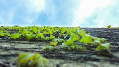 From the Ground Up (MrTheEdge7) Tags: green plant plants vine vines leaves leaf sand wall beach beachy bluesky cloud clouds michigan illinois lake lakeview lakevieweast north northside lakemichigan chicago spring summer vertigo spatial awareness spatialawareness sky skies blue