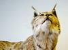 STEIRISCHER LUCHS . STYRIAN LYNX (LitterART) Tags: luchs lynx gesäuse katze cat animal tier