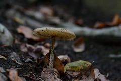 Seta (Hachimaki123) Tags: seta setas mushroom