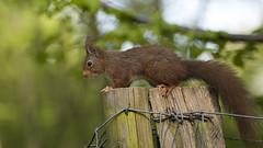 Hungry? (explored) (t.schwarze) Tags: squirrel eichhörnchen animal tier brown braun fell fur explore l