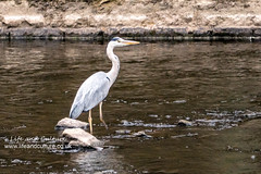 Blue Heron doing a bit of fishing (Life and Culture Photography) Tags: lue heron sheffield 2018 river don bird water sculptures sony sonya6500 6500