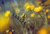 Helios 44-2 (woo_73) Tags: helios 442 m42 altglas wiese meadow flower natur nature helios442