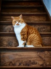 Ruby (toddvic) Tags: vignetting stairs ginger britishshorthair ruby