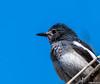 Oriental Maggie female (Mohsan Raza Ali Baloch) Tags: birds nature birdlover birdwatcher birding natural wil wild wildlife wildbirds nikon d500 200500mm nikkor mohsans nikonpakistan