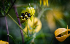 Pollination (Jacques P Raymond) Tags: pollination bee yellow flower plant pollen calgary alberta