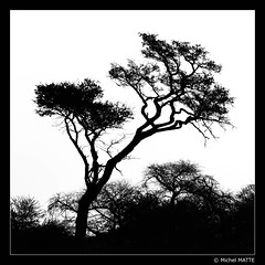 Silhouetted tree (Michel MATTE) Tags: afriquedusud gamedrive nature nb tree silhouette blackandwhite bw southafrica