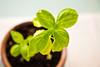 Jangan Biarkan Tanamanmu Mati Saat Sedang Berlibur, Ikuti 7 Cara Ini Agar Tanaman Tetap Hidup! (valiantlystarst) Tags: basil fresh green grow growing growth healthy herb plant pot sun young